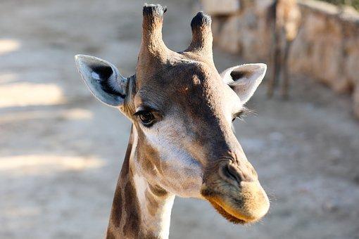 https://cdn.pixabay.com/photo/2020/01/25/10/19/giraffe-4792124__340.jpg