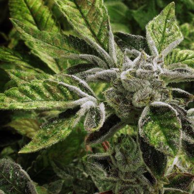 Key Reasons For Smoking CBD Flower